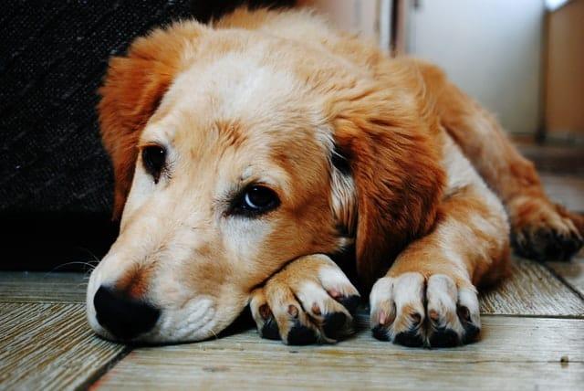bored dog-reasons for dog barking